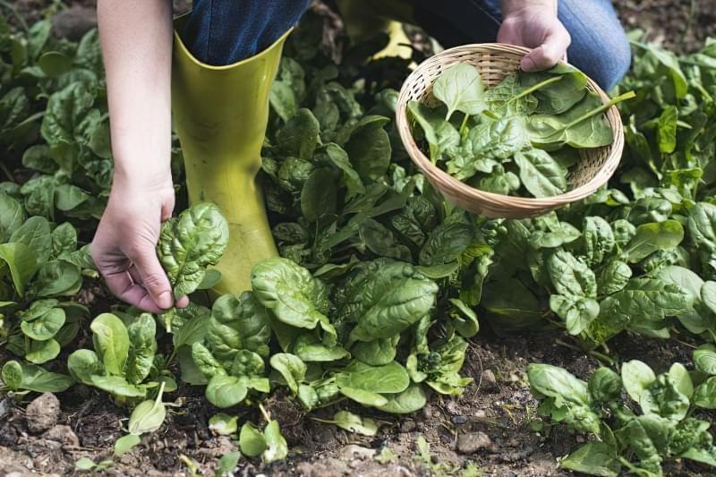 Як виростити шпинат у відкритому грунті: посадка насіння і догляд за зеленню 4