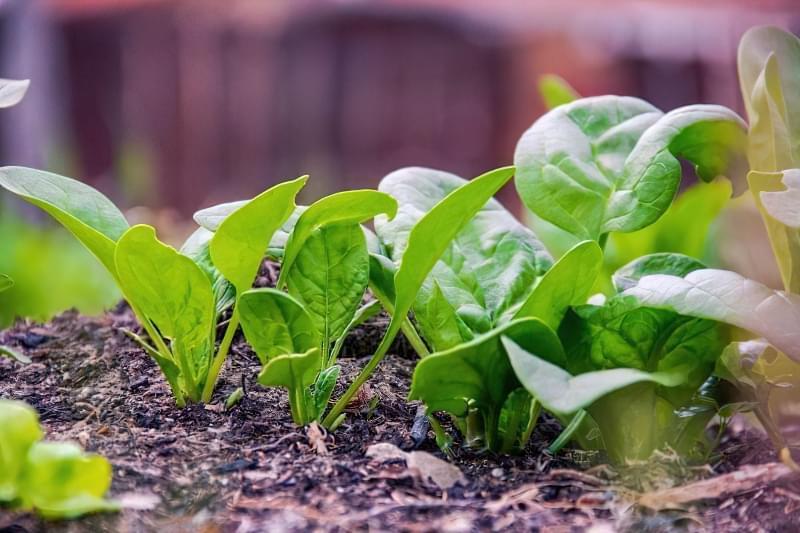 Як виростити шпинат у відкритому грунті: посадка насіння і догляд за зеленню 1