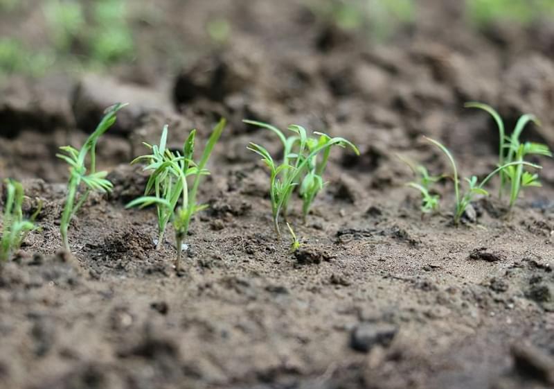 Весняна посадка насіння кропу у відкритий грунт 4