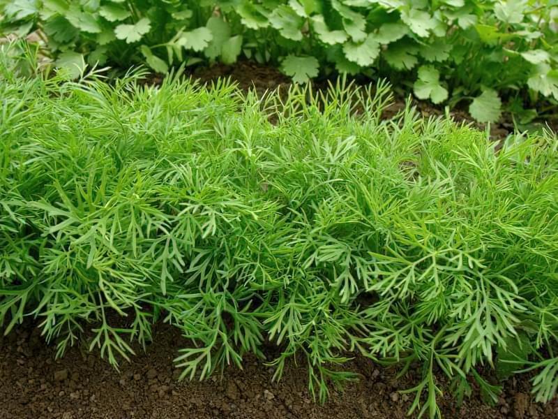 Весняна посадка насіння кропу у відкритий грунт 1