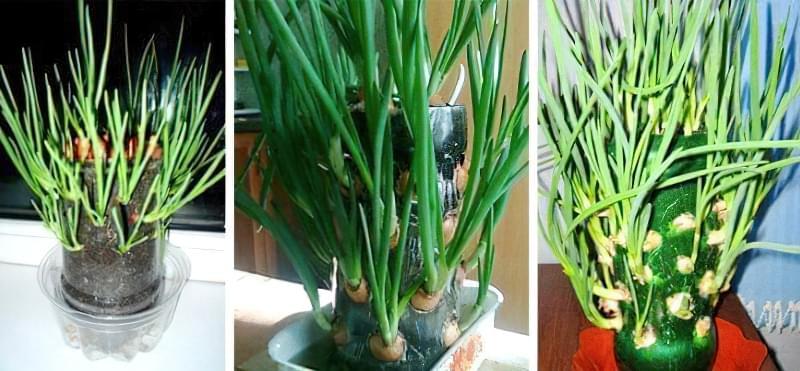 Як виростити зелену цибулю в пляшці прямо на кухні 1