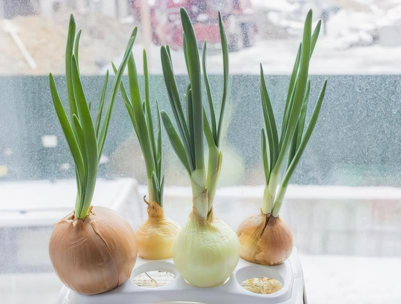 Як виростити зелену цибулю в пляшці прямо на кухні 2