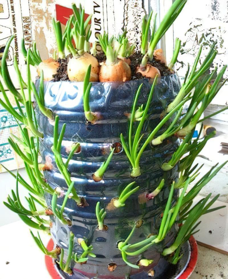 Як виростити зелену цибулю в пляшці прямо на кухні 3