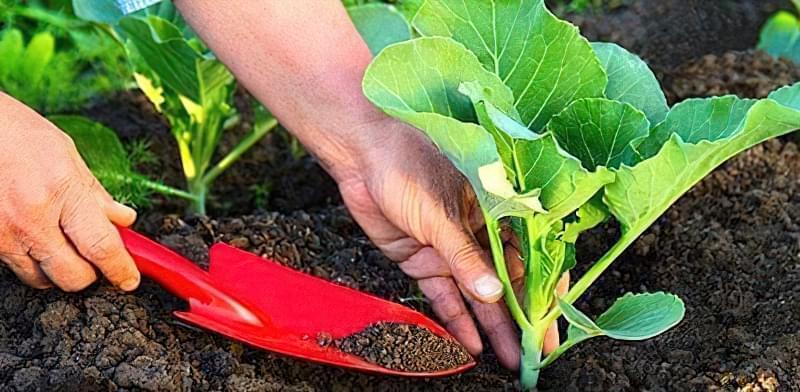 Підживлення білокачанної капусти для росту, формування качана і хорошого врожаю 2