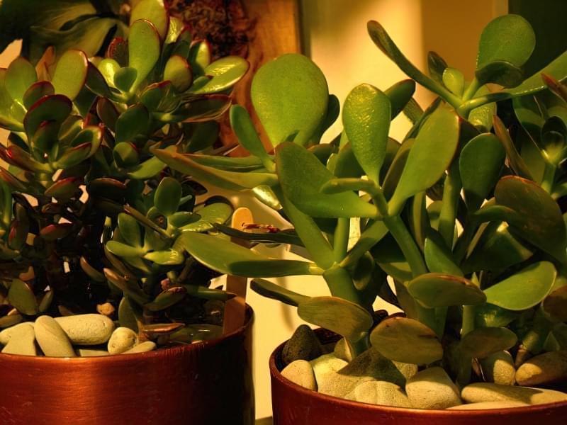 Як вирощувати грошове дерево щоб були квіти і не було шкідників і хвороб 3