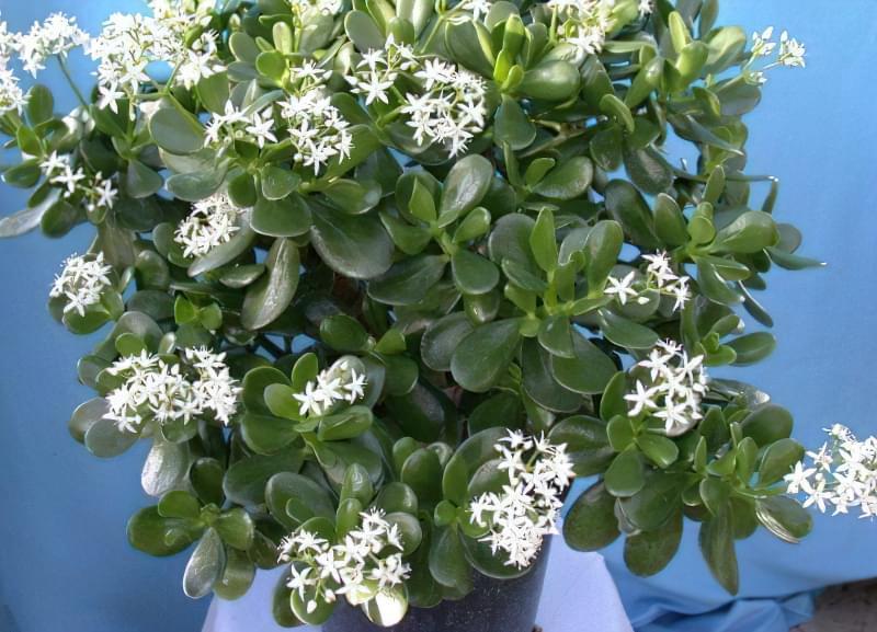 Як вирощувати грошове дерево щоб були квіти і не було шкідників і хвороб 4