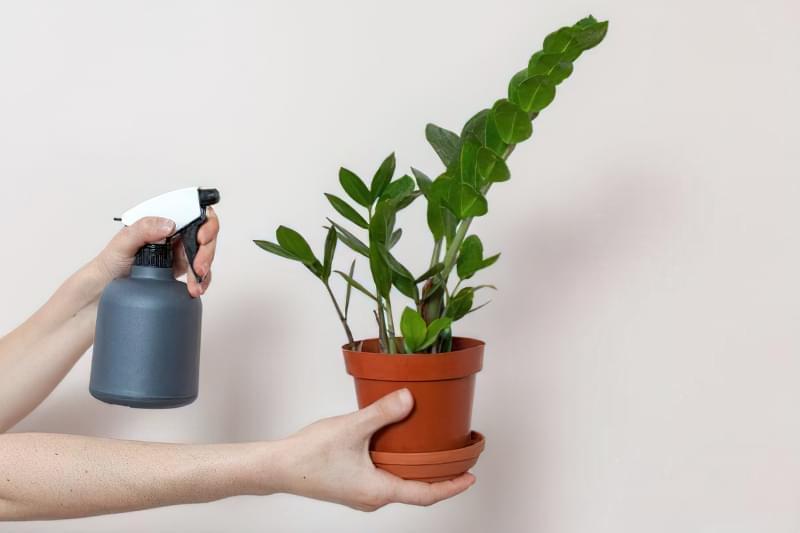 Як виростити доларове дерево і особливості догляду 3
