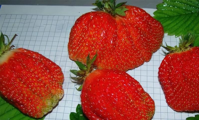 Кращі сорти полуниці для України 7