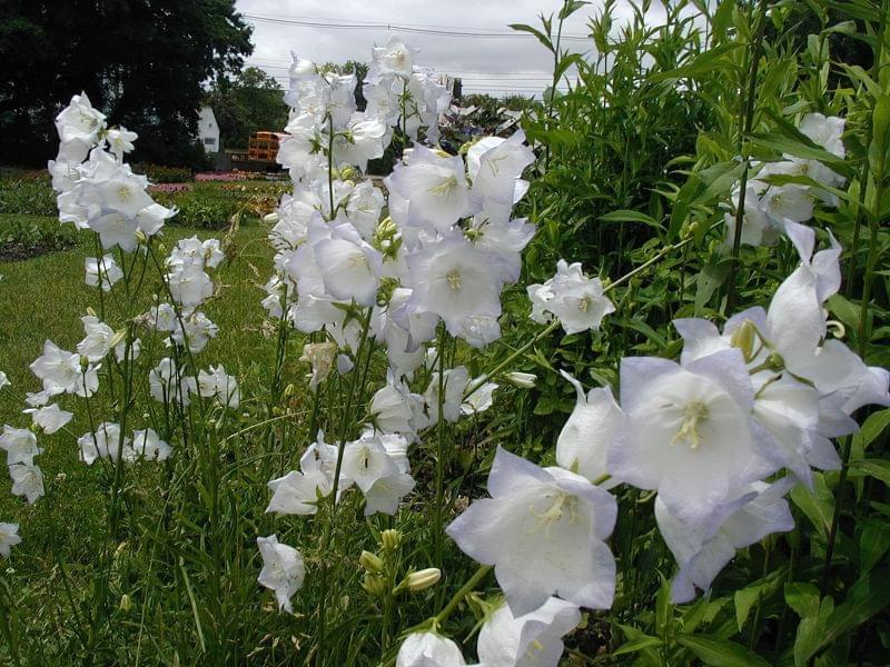 Садові дзвіночки - красиві квіти для ділянки та саду 2
