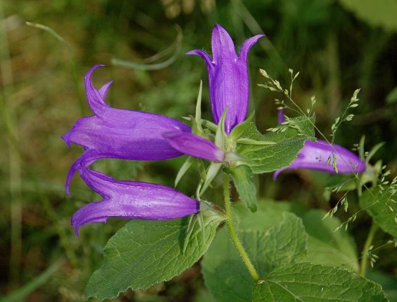 Садові дзвіночки - красиві квіти для ділянки та саду 3