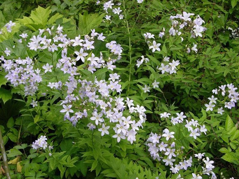 Садові дзвіночки - красиві квіти для ділянки та саду 5