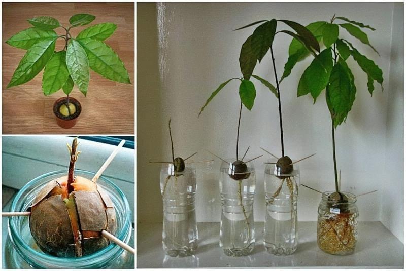 Авокадо в домашніх умовах: як виростити деревце з кісточки 2