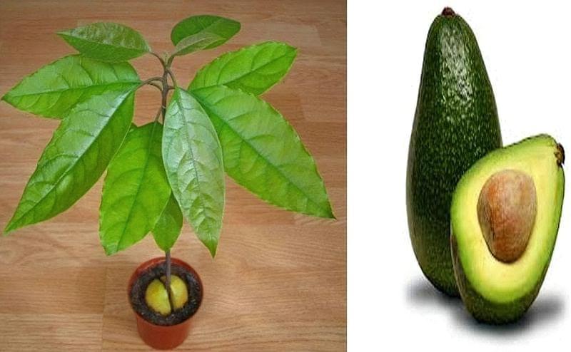 Авокадо в домашніх умовах: як виростити деревце з кісточки 3