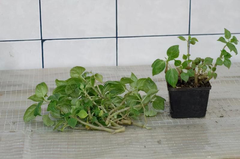 Як виглядає кімнатний бальзамін і як доглядати за рослиною 4