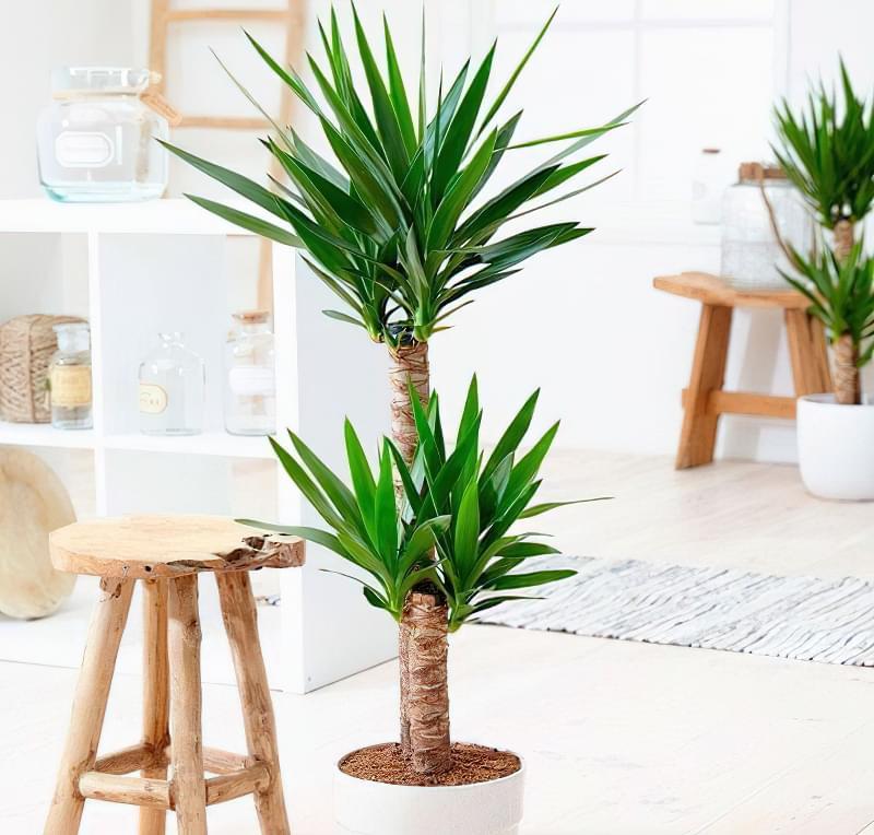 Як виглядає кімнатна юка і як доглядати за рослиною 1