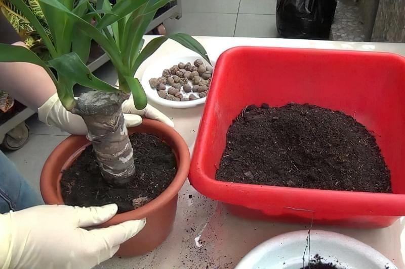 Як виглядає кімнатна юка і як доглядати за рослиною 4