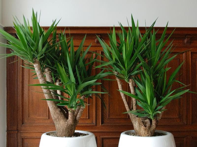 Як виглядає кімнатна юка і як доглядати за рослиною 2