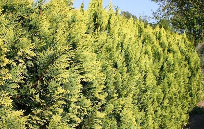 Найкращі рослин для живоплоту 3