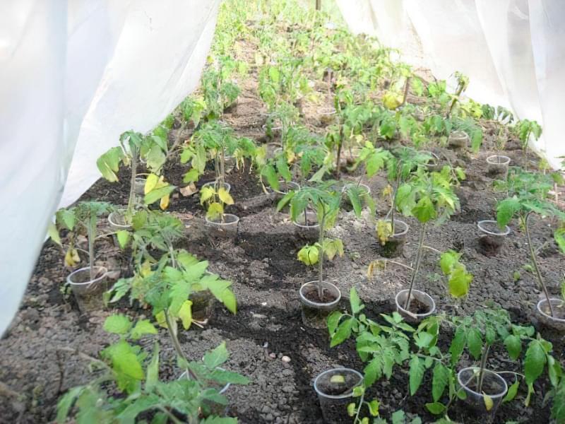Що робити, якщо у помідорів жовтіють верхні або нижні листки 2