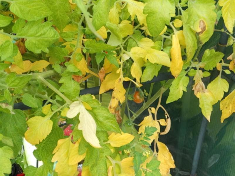 Що робити, якщо у помідорів жовтіють верхні або нижні листки 1