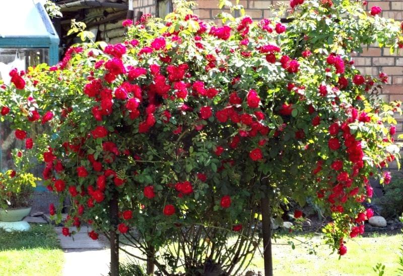 Як використовувати в'юнкі троянди в дизайні 3