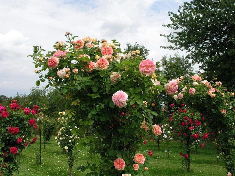 Як використовувати в'юнкі троянди в дизайні 4