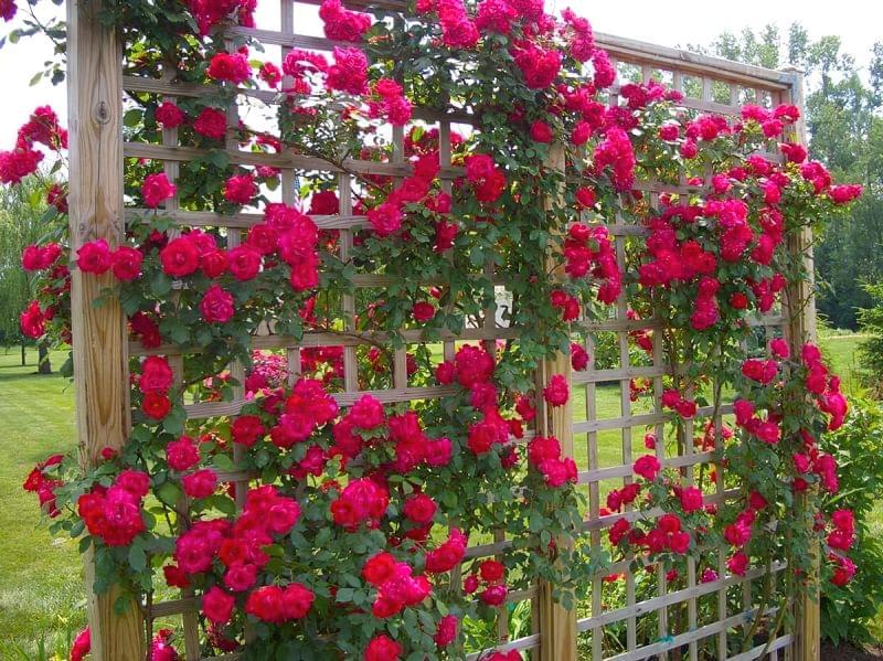 Як використовувати в'юнкі троянди в дизайні 2