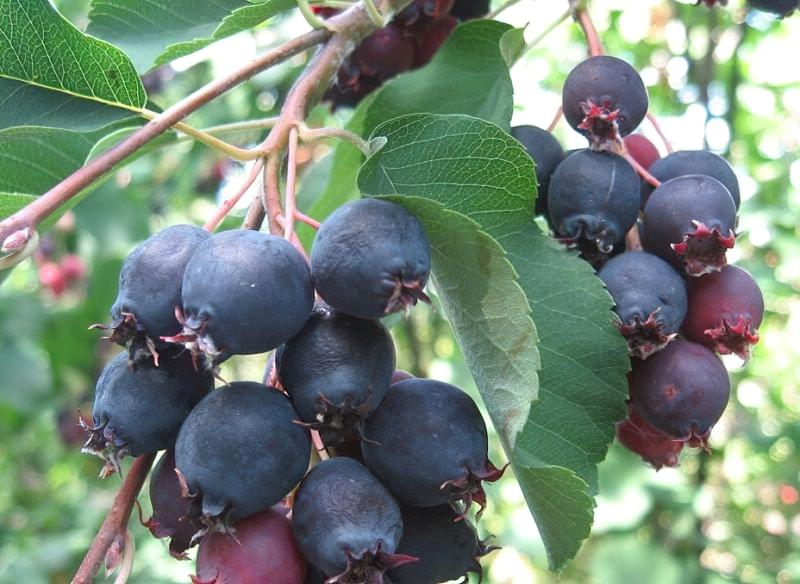 Ірга - опис та вирощування ягоди 1