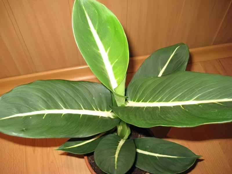 Що таке диффенбахія і які сорти рослини існують 11