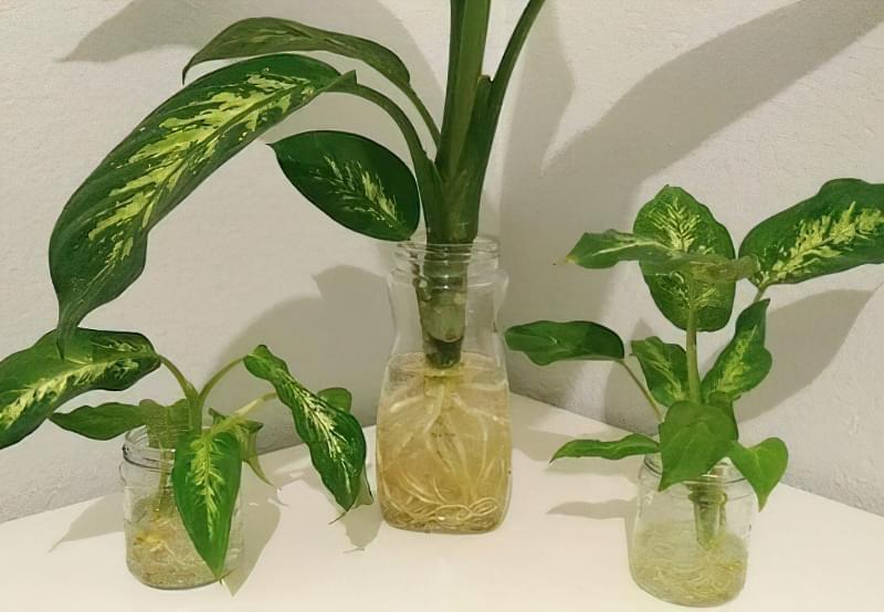 Що таке диффенбахія і які сорти рослини існують 12