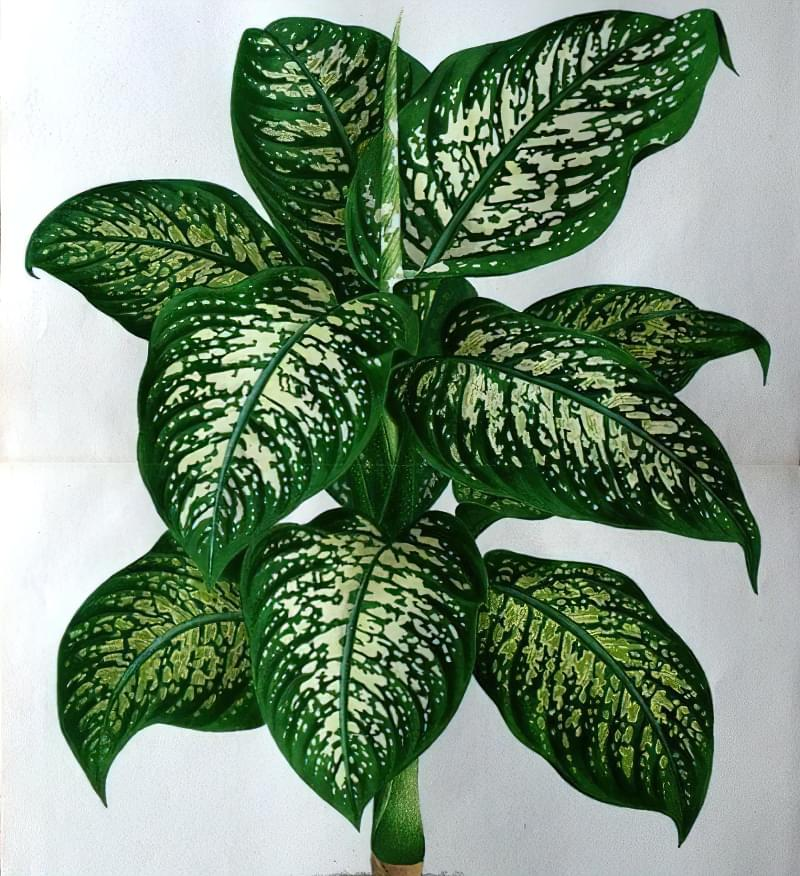 Що таке диффенбахія і які сорти рослини існують 5
