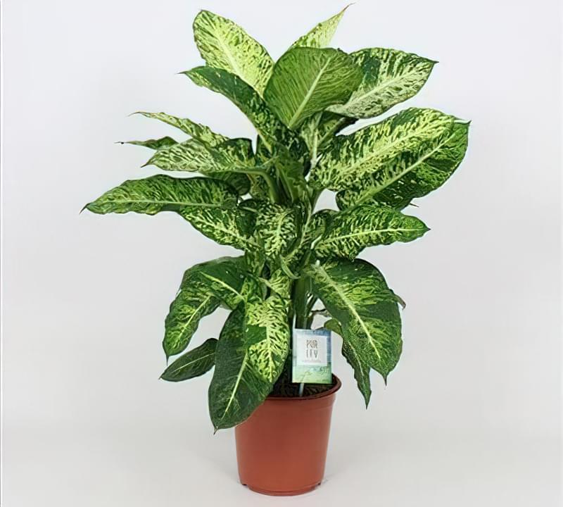 Що таке диффенбахія і які сорти рослини існують 7