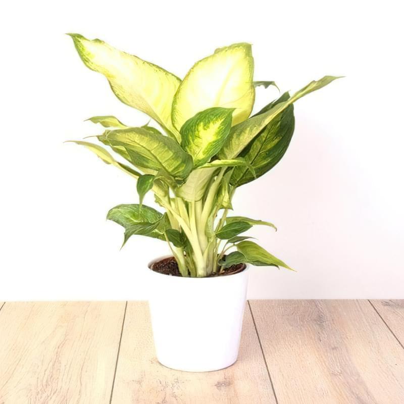 Що таке диффенбахія і які сорти рослини існують 8