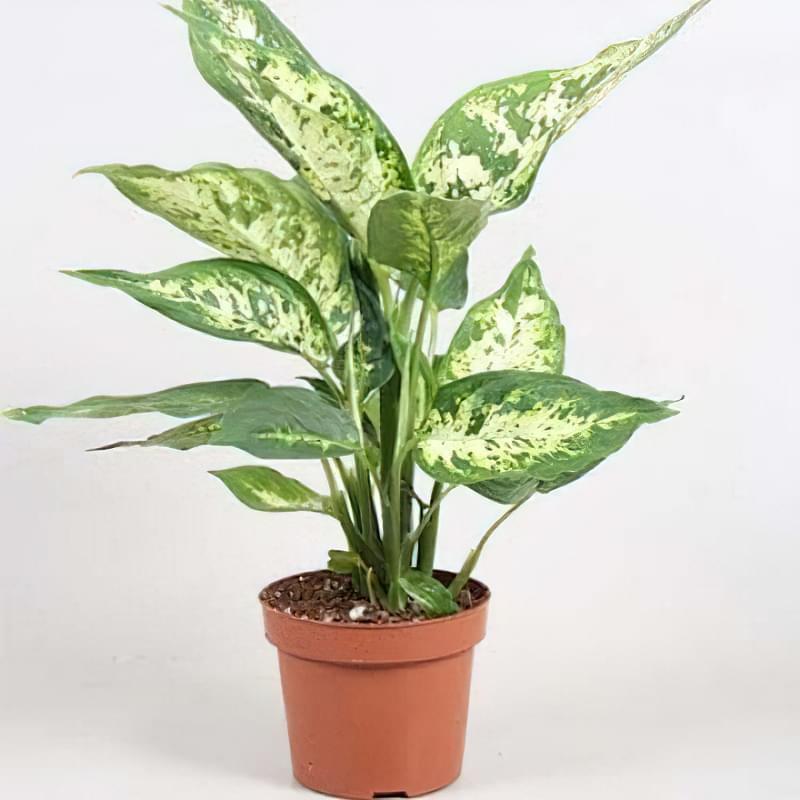 Що таке диффенбахія і які сорти рослини існують 9