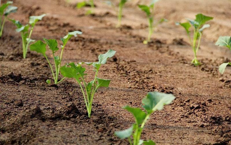 Вирощування кучерявої капусти кале на ділянці 2