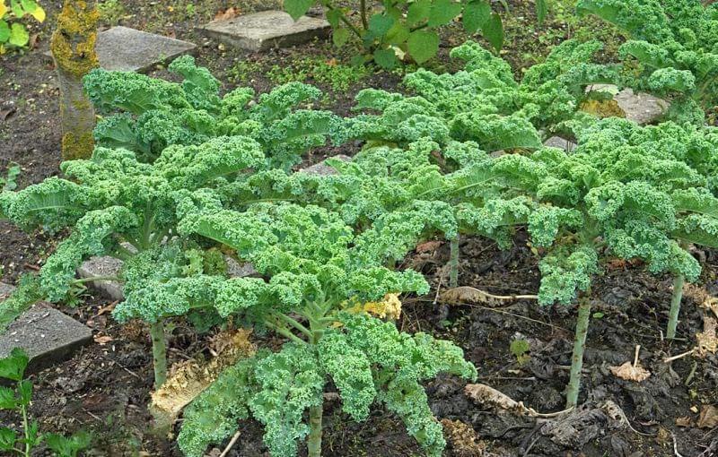 Вирощування кучерявої капусти кале на ділянці 5