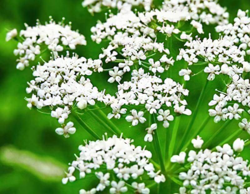 Аніс звичайний: опис, посадка, вирощування 1