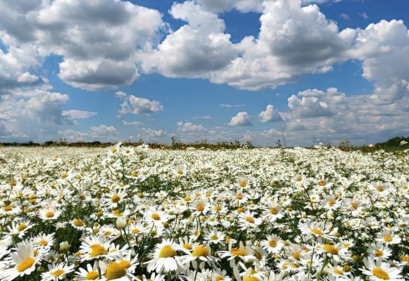 Красиві польові і лугові квіти: жовті, білі, сині, рожеві, фіолетові 18