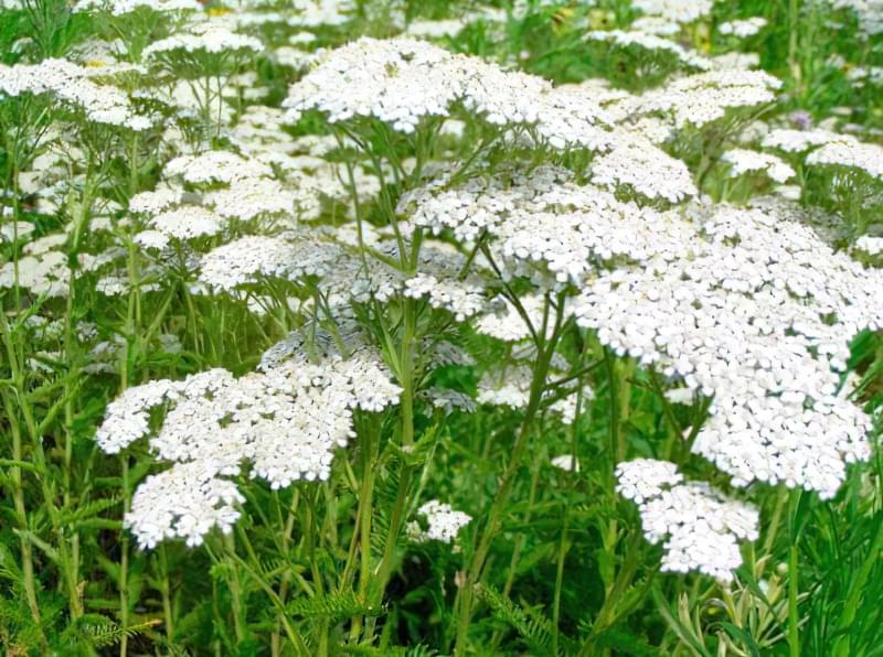 Красиві польові і лугові квіти: жовті, білі, сині, рожеві, фіолетові 20
