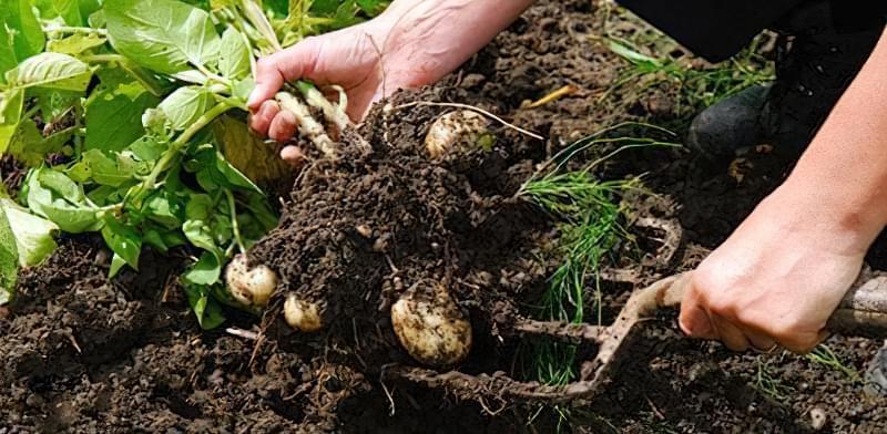 Коли пора копати картоплю і як зрозуміти, що картопля дозріла 3