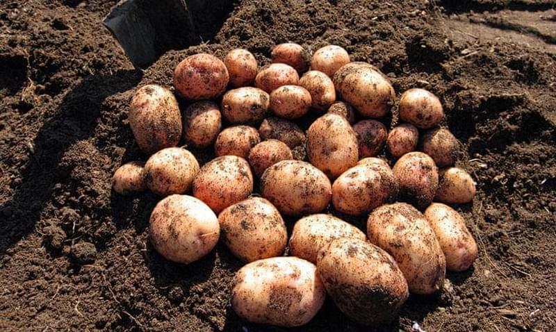 Коли пора копати картоплю і як зрозуміти, що картопля дозріла 4