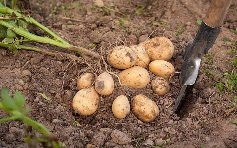 Коли пора копати картоплю і як зрозуміти, що картопля дозріла 1