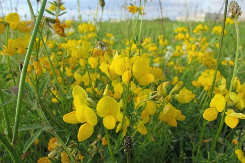 Красиві польові і лугові квіти: жовті, білі, сині, рожеві, фіолетові 6
