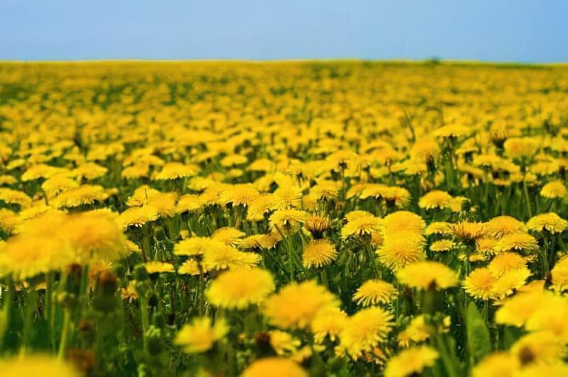Красиві польові і лугові квіти: жовті, білі, сині, рожеві, фіолетові 8