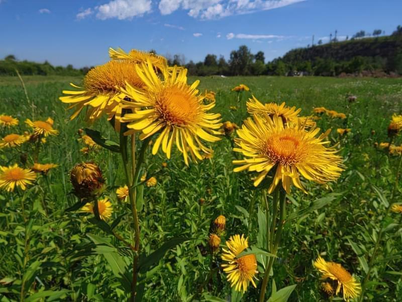Красиві польові і лугові квіти: жовті, білі, сині, рожеві, фіолетові 1