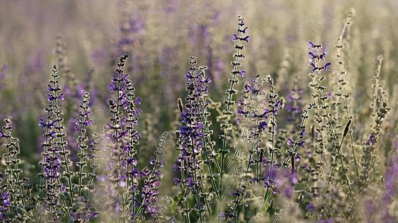 Красиві польові і лугові квіти: жовті, білі, сині, рожеві, фіолетові 42