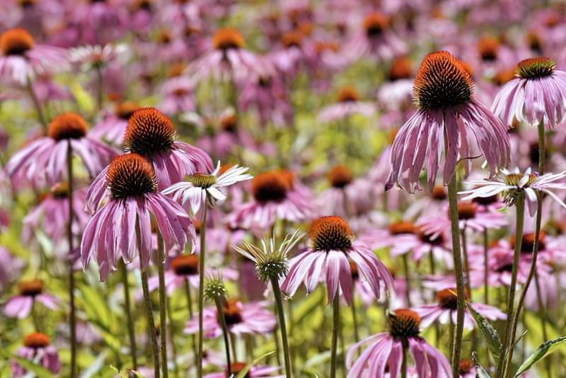 Красиві польові і лугові квіти: жовті, білі, сині, рожеві, фіолетові 43