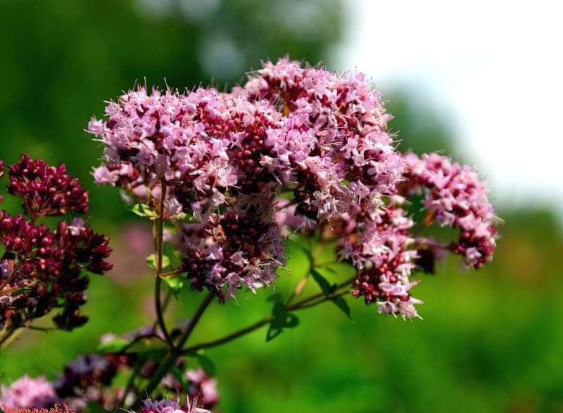 Красиві польові і лугові квіти: жовті, білі, сині, рожеві, фіолетові 34