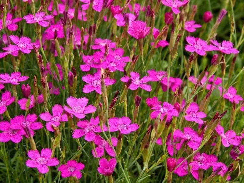 Красиві польові і лугові квіти: жовті, білі, сині, рожеві, фіолетові 32