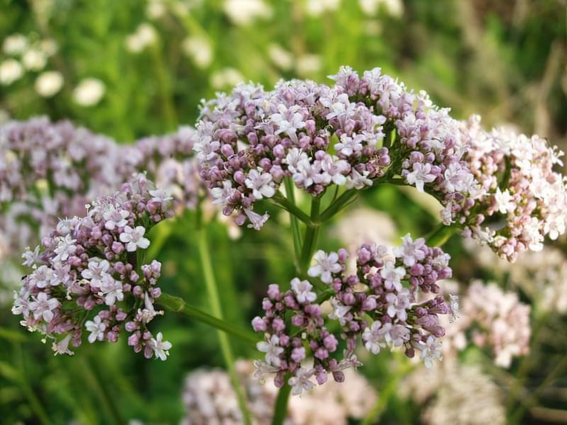 Красиві польові і лугові квіти: жовті, білі, сині, рожеві, фіолетові 46